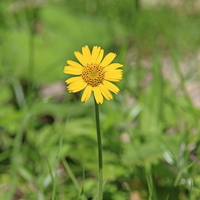 Arnica Stock photo [1846317] Alpine