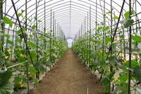 Greenhouses cucumber cultivation Stock photo [1950057] Vinyl