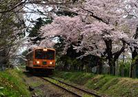 Tsugaru Railway and cherry Stock photo [1955821] Tsugaru