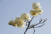 Fist of the blue sky and the full bloom Stock photo [1961376] Sapporo-Shi