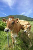 蒜山三座をバックにしたジャージー牛