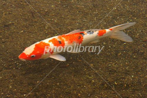 Common carp Photo