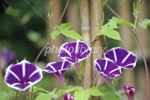 Morning glory purple Photo