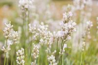 White lavender Misato Yukihana Stock photo [2054564] Misato
