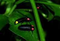 Firefly Stock photo [2055012] Firefly