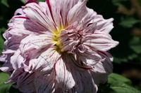 Large-flowered dahlia Stock photo [2057441] Dahlia