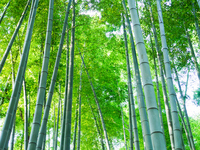 Bamboo forest Stock photo [2062428] Bamboo