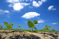Edamame field and blue sky Stock photo [2062821] Edamame