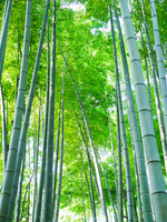 Bamboo forest Stock photo [2063758] Bamboo