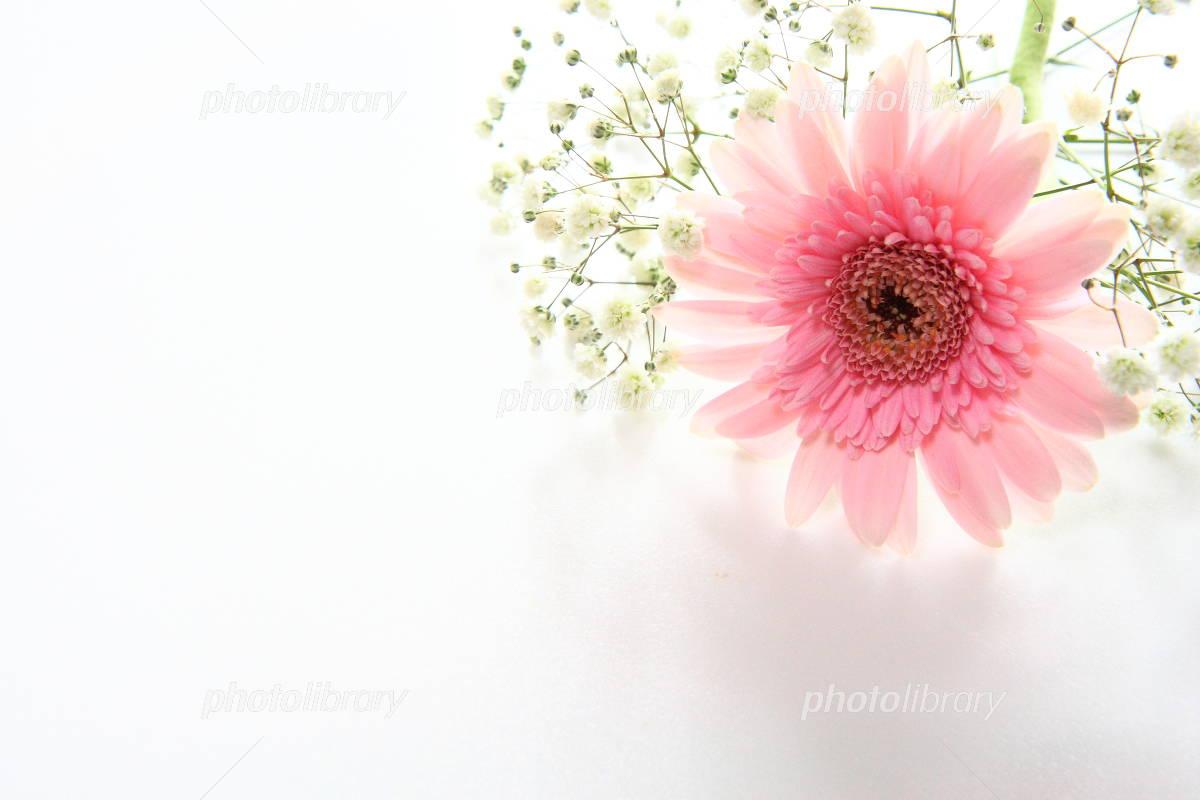 ガーベラ ピンク かすみ草 写真素材 2159940 フォトライブラリー