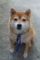 Shiba Inu Stock photo [2157930] Shiba