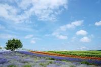 Lavender fields and blue sky Biei Stock photo [2162741] Flower
