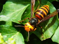 Asian giant hornet Stock photo [2167323] Honey