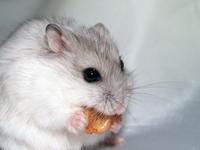 Djungarian Hamster Stock photo [62635] Hamster