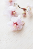 Plum blossom Stock photo [2283354] Plum