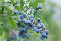 Blueberry field Stock photo [2284668] Blueberry