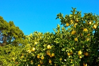 Lemon groves. Stock photo [2288740] Orchard