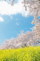Spring landscape of Japan Stock photo [2293808] Cherry