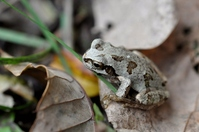 Tree frog that was mimicry in fallen leaves color Stock photo [2294220] Frog