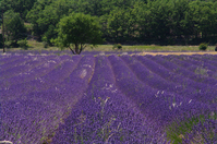 Southern France Provence lavender fields Stock photo [2296006] South