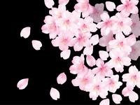 Sakura softly black [2297009] Cherry