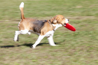 Beagle adding Frisbee Stock photo [2415211] Bio