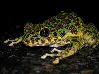 Ishikawa's frog Stock photo [2417443] Ishikawa's