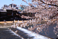 Spring Kamogawa Stock photo [2421868] Cherry