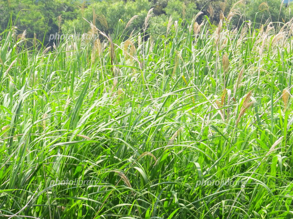 Reed bed Photo