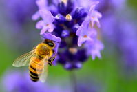 Lavender and honey bees Stock photo [2530979] Lavender