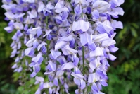 The wisteria flowers Stock photo [2531693] Flower