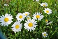 Margaret Stock photo [2531699] Flower