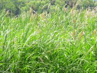 Reed bed Stock photo [2532291] Reed
