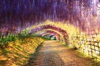 Tunnel of wisteria of Kitakyushu Kawachi Fuji-en Stock photo [2532711] Kawachi