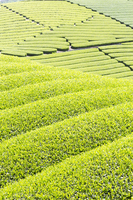 Tea plantation Stock photo [2534501] Chahatake