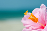 Sandy beaches and hibiscus Stock photo [2537089] Hibiscus