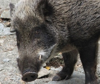 Face-up of wild boar stock photo
