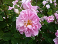 Damask rose Stock photo [2540659] Damask