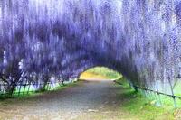 Tunnel of wisteria of Kitakyushu Kawachi Fuji-en Stock photo [2541087] Kitakyushu