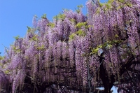 Full bloom of wisteria flowers Stock photo [2543771] Rattan