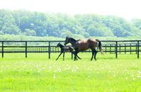 Parent-child thoroughbred running Hokkaido ranch Stock photo [2646608] Horse
