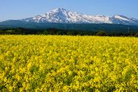 Rape field and Mt.Chokai Stock photo [2647319] Rape