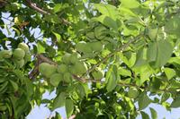 Togoro plum fruit Stock photo [2650068] Togoro