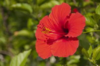 Hibiscus Stock photo [2651715] Hibiscus