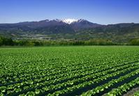 Lettuce field Stock photo [2654009] Lettuce