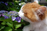 Cat smell the smell of hydrangea Stock photo [2655913] CAT