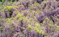 The wisteria flowers Stock photo [3254] Fuji