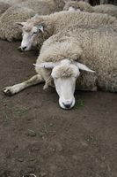 Sleepy sheep Stock photo [3299] Sheep