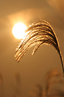 Sunset and Japanese pampas grass Stock photo [3873] Sunset
