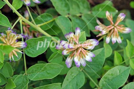 Licorice herb garden Photo